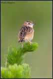 Wing-snapping Cisticola