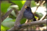 Andean Slaty Thrush (Turdus nigriceps)