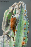 Narrow-billed Woodcreeper (Lepidocolaptes angustirostris)