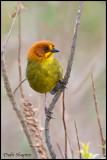 Fulvous-headed Brush-finch (Atlapetes fulviceps)