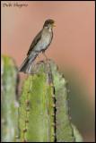 Creamy-bellied Thrush (Turdus amaurochalinus)