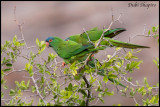 Blue-crowned Parakeet (Psittacara acuticaudatus)