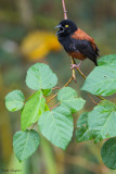 Chestnut-and-black Weaver