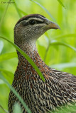 Double-spurred Francolin