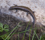 Another small skink