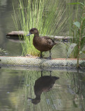 Reflective black duck