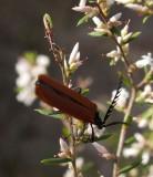 3168: Small beetle