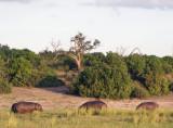 1296: Grazing hippos