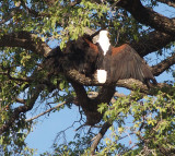 1999: African fish eagle