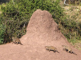 2161: Banded mongooses