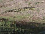2164: Crocodile