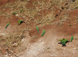 2175: Little bee-eaters at their burrows