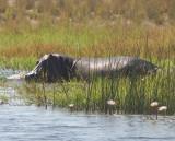 1431: Quiet Hippo