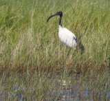 1573: African sacred ibis
