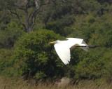 1575: Egret in flight