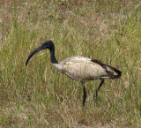 1591: African sacred ibis