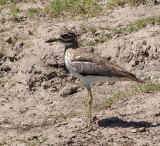 1593: Water thick-knee