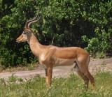 1607: Impala