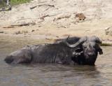 1622: Sick buffalo