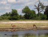 1631: Two impala