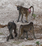 1698; Three baboons