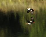 1785: Egyptian goose