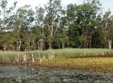 Cockatoos at Glenbrook lagoon