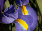 A conspiracy of irises