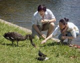 Tourists befriending a black swan