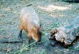 0006_capybara.JPG