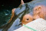 0013_eye_of_hippo.JPG