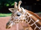 021A_giraffe.JPG