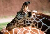 022A_giraffe.JPG