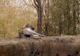 9356 hyena.JPG