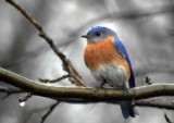 Bluebirds, Almost Spring