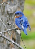 Bluebirds Guarding the Nest