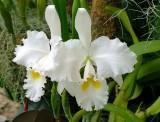 Orchid Show Missouri Botanical Garden 020517