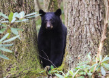 Black Bear in Great Smoky Mountains National Park
