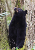 Black Bear checks her cubs in Great Smoky Mountains National Park