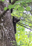 Black Bear Cub in Great Smoky Mountains National Park