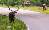 Elk along the road in Great Smoky Mountains National Park
