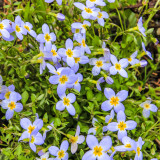 Quaker Ladies (aka Bluets) in Great Smoky Mountains National Park