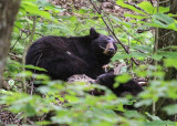 Black Bear and Cub in Great Smoky Mountains National Park