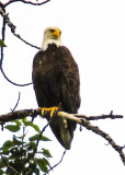 Bald Eagle high up in a tree along the Chulitna River