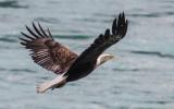 A Bald Eagle in flight over the Kenai River