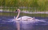 Trumpeter Swan and chicks along the McCarthy Road in Wrangell-St Elias National Park