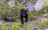Black Bear on the edge of Shamrock Lake