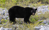 A Black Bear stops to check us out near Shamrock Glacier