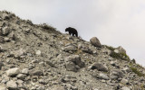 A Black Bear walks along a ridge near Shamrock Glacier