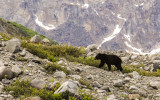 A Black Bear hunts for soapberries near Shamrock Glacier